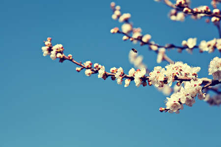 White apricot tree flowers in spring Stock Photo - 18829687