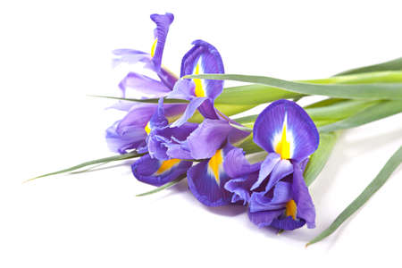 Irises flowers isolated over white photo