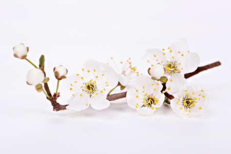 plums: Spring blossom flowers on white background