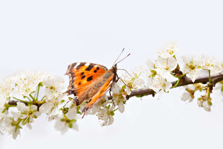 Butterfly on blooming spring tree Stock Photo - 19557530