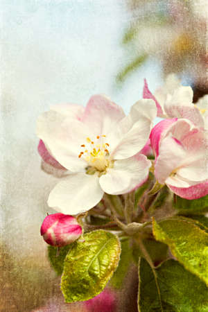 Closeup blossoming tree brunch with white flowers  Vintage image photo