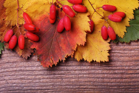 barberries: Autumn barberries on wooden background