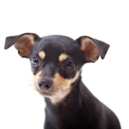 Toy terrier isolated on white  photo