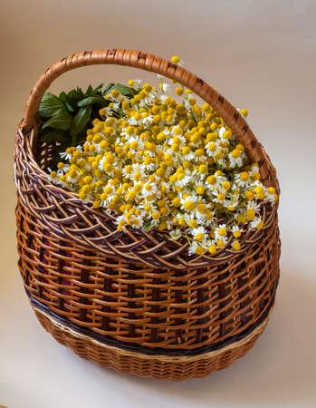 matricaria: Harvest Matricaria chamomilla in a wicker basket