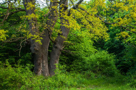 Old oak trunks with fresh leaves in spring