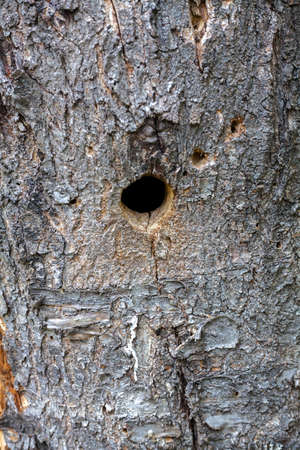 Hollow in the tree trunk is made woodpecker