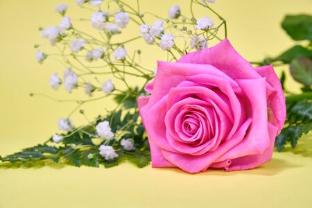 Pink rose with a leaf of green fern and a hypsophila Bush on a yellow background, place for text.