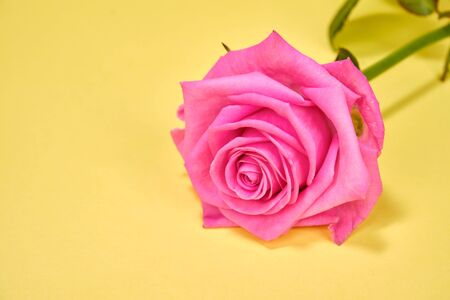 Pink rose close- up on a yellow background, selective focus