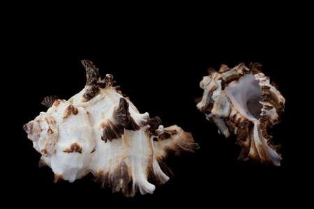 murex shell: Two seashell Murex Indivia Stock Photo