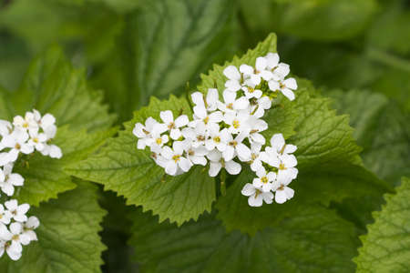 lamiales: Flowers of Lamium album, commonly called white nettle or white dead-nettle