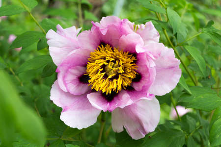 tree peony: Tree peony flower  Paeonia suffruticosa  Stock Photo