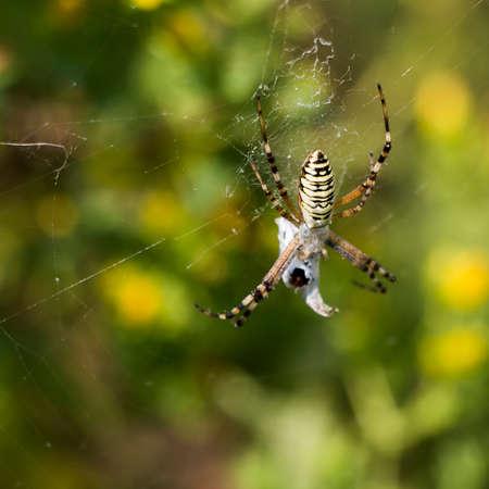 The female spider Argiope bruennichi, or the wasp spider closeup photo