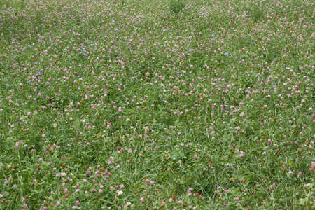 trifolium: Background of blossoming clover (Trifolium), or trefoil on meadow