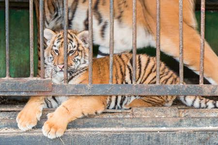Little tiger in a zoo cage in Pyatigorsk (Russia) photo