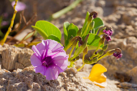 pes caprae: Blossoming Ipomoea pes-caprae on the coral reef Stock Photo