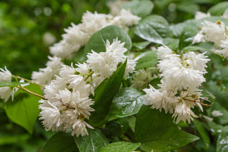 Flowering shrub with white flowers close up in rainy weather stock flowering shrub with white flowers close up in rainy weather stock photo 36843018 mightylinksfo
