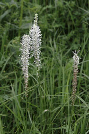 plantain herb: Blossoming Greater Plantain (Plantago major) in the meadow Stock Photo