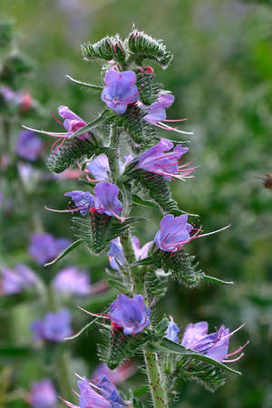 echium: Blossoming Echium vulgare (Vipers Bugloss or Blueweed)