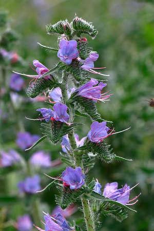 vulgare: Blossoming Echium vulgare (Vipers Bugloss or Blueweed)