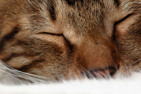 nose close up: Muzzle of the sleeping domestic cat Stock Photo
