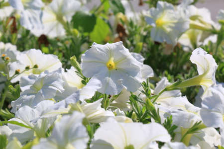 petunias: Close-up flowers of white petunias. Floral background Stock Photo