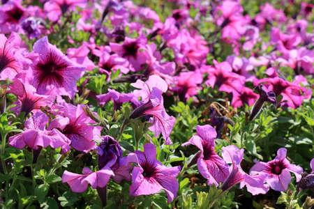 petunias: Close-up flowers of pink petunias. Floral background