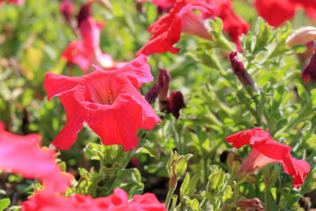 burgundy background: Close-up flowers of red petunias. Floral background
