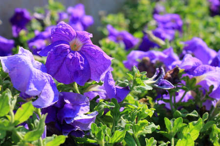 floral decoration: Close-up flowers of volet petunias. Floral background