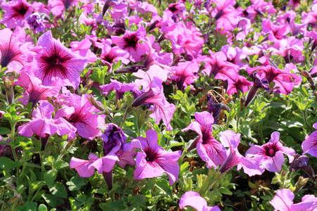 桃红色喇叭花特写镜头花。花卉背景