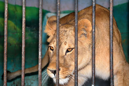 behind: The cautious lioness behind bars in a zoo cage