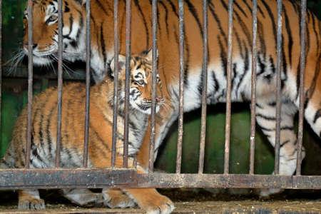 tigresa: Tigresa con el tigre cachorro tras las rejas en una jaula de zoológico Foto de archivo