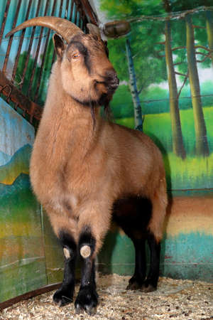 brown goat: Wild brown goat in a zoo cage Stock Photo
