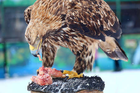 bird eating raptors: The Golden eagle eats raw meat on a stump in the winter day Stock Photo