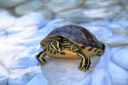 bellied: The yellow-bellied slider (Trachemys scripta scripta) turtle in a water on a white stones
