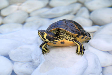 bellied: The yellow-bellied slider (Trachemys scripta scripta) in a water on a white stones Stock Photo