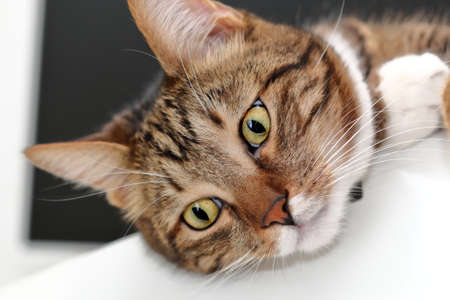 Muzzle of a domestic cat close up. Stock Photo