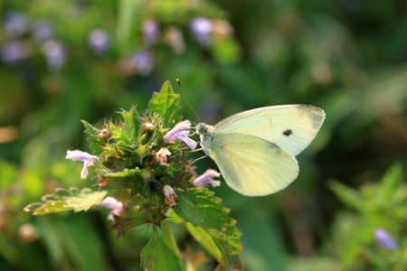 Butterfly Pieris brassicae, also called cabbage butterfly on the flower