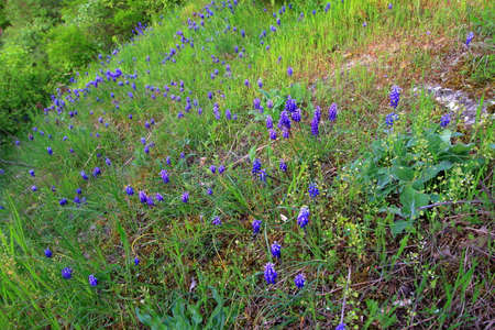 Flowers Muscari armeniacum on the hill in the forest Stock Photo