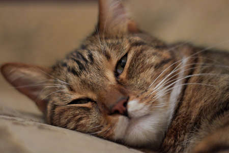 Portrait of a sleeping on the bed short-haired domestic cat Standard-Bild