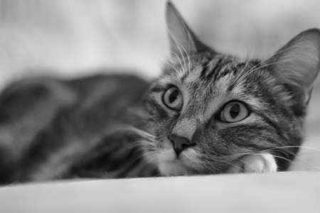 Dreaming of a mouse. Portrait lying on the bed of a short-haired striped domestic cat. Monochrome image