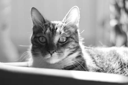 Observation from an ambush. Portrait of a short-haired striped domestic cat. Black and white image