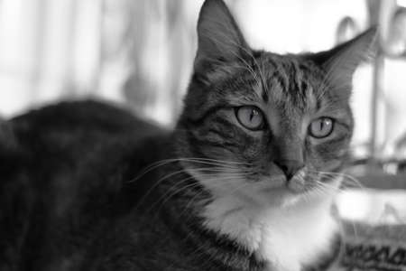 Portrait of a short-haired striped domestic cat lying on a rug on the balcony. Black and white image