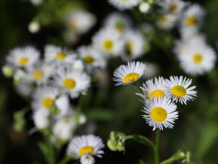 Erigeron annuus (annual fleabane or daisy fleabane) in the natural environment. Selective focus