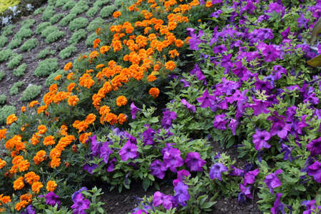 Blossoming Petunia and Marigold Flowers in a rows. Natural background