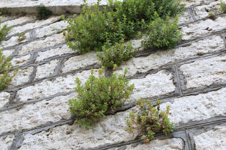 Old white stone wall with plants between bricks. Antique background Stok Fotoğraf