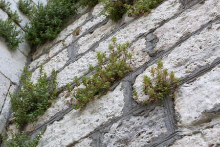 Old white stone wall with plants between bricks. Antique background Stock Photo
