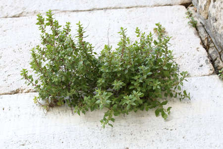 Plants between bricks of an old stone wall. Antique background