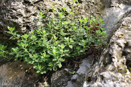 Purslane plant (Portulaca oleracea, also known as verdolaga, red root, or pursley) on a rock in a natural environment Stock Photo