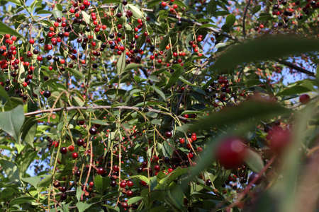 Prunus padus fruits on a branches close-up. Also known as bird cherry, hackberry, hagberry, or Mayday tree Stock Photo