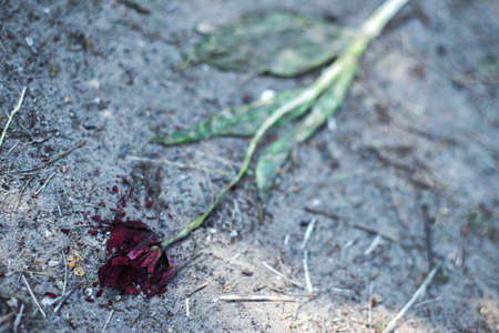 wilted tulip flower, trampled on the ground. Close-up. The concept of death, aging, decline. Decadence. With the premise of mourning Stockfoto